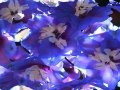 1 Looking Sideways and Down (Mertonian) Tags: purple blue white forsophia soft awe wonder sideways lunchwalk abstract mertonian robertcowlishaw ineffable beauty creative blossoms latebloomer autumn fall canon powershot g7x mark ii canonpowershotg7xmarkii cluster shadows luminous translucent