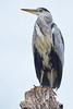 Grey Heron (paulinuk99999 - tripods are for wimps :)) Tags: paulinuk99999 grey heron bushy park tree london wildlife sal135f18za
