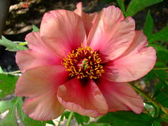 Peony (yewchan) Tags: peony peonies paeonia paeonies flower flowers garden gardening blooms blossoms nature beauty beautiful colours colors flora vibrant lovely closeup