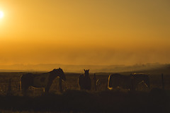 The golden three. (Pablin79) Tags: field sky landscape sunset winter sun light animals grass silhouette colors evening three shadows dawn horses farm outdoors dusk backlit afternoon argentina silhouettes goldenhour misiones posadas noperson