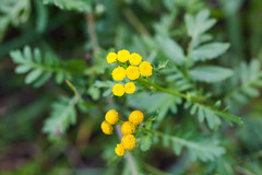 Tansy (cricketsblog) Tags: melissamcmasters taxonomy:kingdom=plantae plantae taxonomy:phylum=tracheophyta tracheophyta taxonomy:phylum=magnoliophyta magnoliophyta taxonomy:class=magnoliopsida magnoliopsida taxonomy:order=asterales asterales taxonomy:family=asteraceae asteraceae taxonomy:genus=tanacetum tanacetum taxonomy:species=vulgare taxonomy:binomial=tanacetumvulgare barbotine tanaisiecommune tanacetumvulgare boerenwormkruid tansy goldenbuttons commontansy  tanvul rainfarn pietaryrtti taxonomy:common=barbotine taxonomy:common=tanaisiecommune taxonomy:common=boerenwormkruid taxonomy:common=tansy taxonomy:common=goldenbuttons taxonomy:common=commontansy taxonomy:common= taxonomy:common=tanvul taxonomy:common=rainfarn taxonomy:common=pietaryrtti