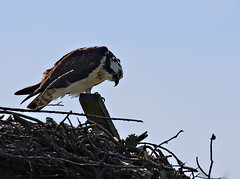 Saltaire, Fire Island. Osprey (BruceLorenz) Tags: fire island long new york ny wildlife saltaire saltair wild life osprey nest nesting