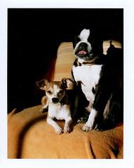 best buddies (EllenJo) Tags: pets home dogs polaroid bostonterrier ivan january livingroom hazel f11 1125 landcamera polaroidlandcamera chihuahuamix instantfilm chiweenie 2013 fujifp100c abouttoyawn ellenjo ellenjoroberts polaroidpathfinder rollfilmcameraconvertedtopackfilm convertedpathfinder