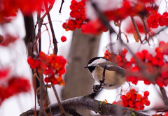 Winter Colors (MattFergusonPhotography) Tags: trees winter snow bird nature berries kelowna canonrebelt2i