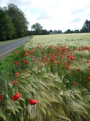 bord de champ (peltier patrick) Tags: road flowers red flower nature fleur fleurs plante rouge soleil lumire vert route paysage campagne printemps couleur bord champ photomix coquelicots loiret seigle crales bordure peltierpatrick
