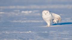 Snowy Owl passing a little Gas! (Raymond J Barlow) Tags: white snow ontario canada nature snowy wildlife ngc workshop owl nikond300 bestevergoldenartists