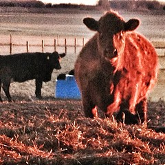Red cow #cattle #farm