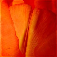 things i had no words for (1crzqbn) Tags: orange sunlight macro texture nature square flora shadows bokeh tulip 7d legacy shining hypothetical tistheseason vividimagination artdigital awardtree thingsihadnowordsfor magicunicornverybest crazygeniuses exoticimage 1crzqbn netartii