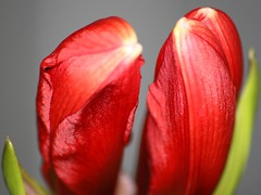 Two Of A Kind (bigbrowneyez) Tags: flowers light macro green nature beautiful closeup petals twins pretty bright gorgeous rich wing textures amaryllis buds growing lovely deepred silky unraveling twoofakind fullness maturing satiny rememberthatmomentlevel1