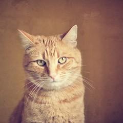 Pico Snapseed (Creative_Light_Photography) Tags: portrait orange texture cat 50mm eyes nikon dof bokeh availablelight g 14 seed snap sharp depthoffield f2 processed softlight windowlight photooftheday ipad d90 nikon50mmf14afsg