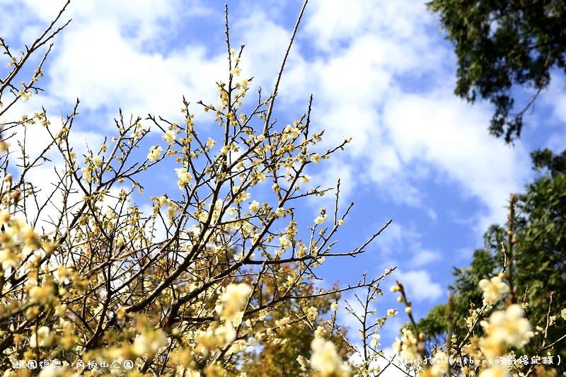 【梅花】桃園復興.角板山(藍天搭配梅花令人放鬆的景色)