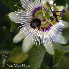 Busy bee on passion flower [Explore] (Voss-Nilsen) Tags: flowers plants plant flower macro nature closeup digital canon plante insect square botanical photography eos photo foto bees natur croatia insects bee bumblebee explore 5d bier planter makro passionflower blomst insekt squared macroshot blomster 2012 kroatia hrvatska dalmatia naturbilder nrbilde botanisk humle bie naturen insekter macroshots flickrexplore digitalt naturfoto flordapaixo explored flordelapasin naturbilde digitalfoto makrobilder makrobilde humler nrbilder kvadratisk botanikk naturfotografi blomsterflowers planterplants dyranimals insekterinsects naturoglandskapnature redigertfil kroatiacroatia humlerogbierbumblebees humleogbiebumblebee vossnilsen