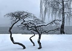 Still winter . . . . (rotraud_71) Tags: trees winter snow switzerland zrchersee ksnacht vanagram blinkagain