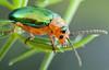 Shiny Leaf Beetle (johnhallmen) Tags: macro insect coleoptera canonmpe65 canon5dmkii sermylassahalensis canon270ex sermylahalensis galerucahalensis