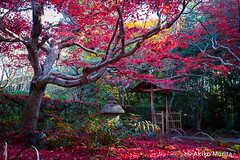 Enri-an Temple, Kyoto, ,  (Akiko Morita) Tags: enrian temple  japan japanese kyoto garden gardening architecture landscape travel holiday nature flower plant horticulture historic history picture photo photography image love joy inspiration inspirational sensation romantic vibrant light serenity meditation autumn maples momiji japon jardin