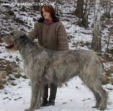 Wolfhound (mdelaney65) Tags: irish snow wolfhound