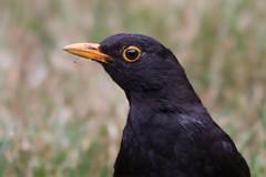 Blackbird 2013-02-09 (_MG_0221) (ajhaysom) Tags: australia turdusmerula blackbird lorne australianbirds lemonadecreekcottages