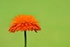 375 - Calendula (ArvinderSP) Tags: flower green nature closeup petals spring nikon explore greenback calendula 2013 againstgreen d3100