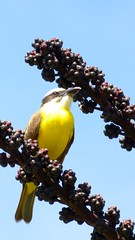Bentivi na hora do almoo (jeduardofn ~ Brasil) Tags: bird braslia natureza pssaro pitangussulphuratus bentivi