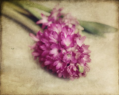 flower arranging (silviaON) Tags: flower february ie textured hyacinthus 2013 memoriesbook floralessence bsactions memoriesbook5 magicunicornverybest flypapertextures alledgesactions