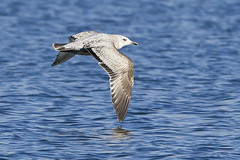 HERRING GULL - IMMATURE (nsxbirder) Tags: ohio flight immature larusargentatus herringgull caesarcreekstatepark harveysburg