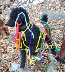 One Paw Up (caboose_rodeo) Tags: ribbons standardpoodle 1649