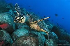 Noronha-3 (Denis Negocia) Tags: travel underwater turtle mergulho dive viagem fernandodenoronha tartaruga buceo ikelite denisnegocia