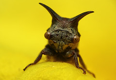 Tree Hopper (karthik Nature photography) Tags: color macro nature animals closeup canon photography d insects bugs flies leafhopper nationalgeographic treehopper naturephotography macrophotography closeupphotography macroworld sigma105mm animalworld insectphotography macrolife beautifulbugs karthikphotography