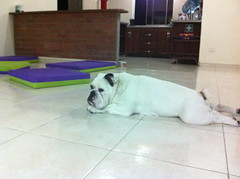Un buen lugar para descansar (Dogs Resort Pereira) Tags: hotel estrellas cinco perros petit guardera pereira hotelparamascotas perrosequilibrados dogsresort guarderaparaperros