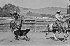 Cattle Roundup (ConejoThruTheLens) Tags: horses cowboys calves langranch conejothroughthelens cattleroundups