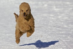 Not sure if mad or happy (takamaa) Tags: winter dog snow playing dogs finland running poodle playful villakoira