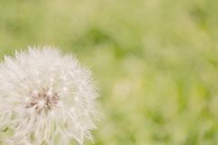 dandelion (throughthineeyes) Tags: flowers flower spring blossom dandelion bloom dandelions wishingflower