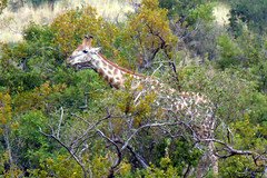 Giraffe (RobW_) Tags: africa game west march bush south north reserve lodge giraffe monday province pilanesberg kwa 2013 maritane mar2013 11mar2013
