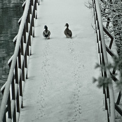 Together Forever (migajiro) Tags: winter snow duck couple pareja sony nieve footprints pato huellas nex migajiro ltytr1 nex7 sel18200