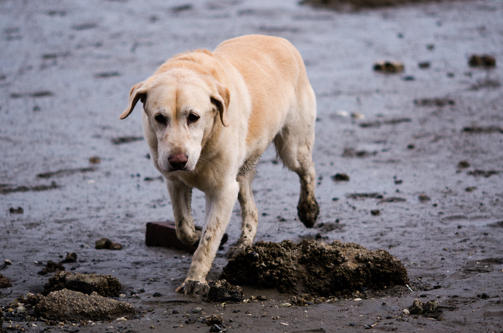 Dog Collar Tags German Shepard Puppy
