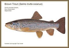 Amu Darya Trout (Fish as art) Tags: expedition biodiversity taxonomy colourpencils technicaldrawing troutfishing truite trota drawingfish amudarya mountaintrout raretrout troutillustration easterntrout