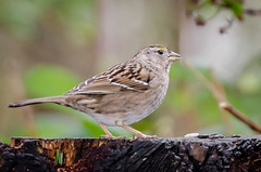 Golden-crowned Sparrow (Juvenile First Winter) (lessnopsmorejmps) Tags: bird juvenile goldencrownedsparrow nikkortc17eii nikond7000 nikkor70200mmf28vrii