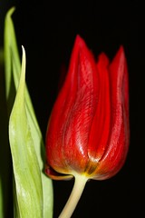 Red tulip (Liisamaria) Tags: tulips natureworld naturesgarden perfectpetals ilovemypic worldofflowers awesomeblossoms oneflowerperday newenvyofflickr saariysqualitypictures unforgettableflowers flowersorinsectsmacro universeofnature addictedtoflower hennysflowergarden flowerthequietbeauty asingleflowers