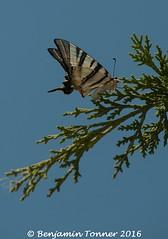 Scarce swallowtail - Iphiclides podalirius (frattonparker) Tags: nikond90 nikkor18300mmvr raw lightroom6 farfalle butterfly schmetterling papillon mariposa rodos aegean
