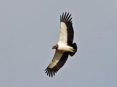 King Vulture (Sarcoramphus papa) (Rodrigo Conte) Tags: urubu uruburei king vulture sarcoramphus papa sarcoramphuspapa cathartidae cathartiformes ave bird brasil brazil brasilia brasilemimagens fantasticnature
