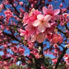 (lincolngomes) Tags: usp sopaulo brasil rvore tree nature natureza corderosa pink flower flor