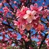 (lincolngomes) Tags: usp sãopaulo brasil árvore tree nature natureza corderosa pink flower flor