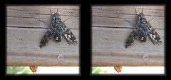 Xenox Tigrinus, Tiger Bee Fly on Gate 2 - Crosseye 3D (DarkOnus) Tags: mate8 buckscounty cell closeup darkonus huawei pennsylvania phone tiger bee fly xenox tigrinus gate 3d stereogram stereography stereo macro insect crossview crosseye