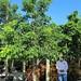 Bursera Simaruba (Red Trunk - Belize Sp.)