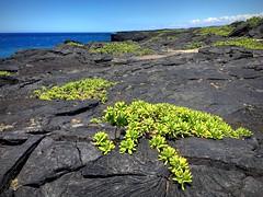 Lava pioneer plants (PeterCH51) Tags: hawaii bigisland coast lava pioneer plants iphone peterch51 chainofcratersroad kilauea volcano pioneerplant pioneerspecies succulents