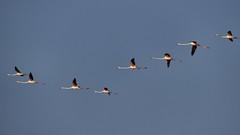 _DSC1741 - Rserve naturelle de Ria Formosa au Portugal (Valber78) Tags: flamant flamantsroses algarve riaformosa faro oiseau flamico flamigo