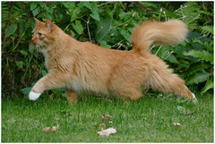 Billy the intrepid explorer ... (Jan Gee) Tags: billy cat chat kat kater katze gata gato gatto kot red orange ginger rode rooie roter bushy tail