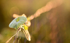 Golden Evening Glory (Lala Lands) Tags: morninggloryvine rustywirefence happyfencefriday hff summereveninglight goldenhour morningglory familyconvolvulaceae bokeh dof nikkor105mmf28 nikond7200