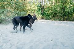 chase-roam-early-morning-mamquam-200816-ajbarlas-1225.jpg (A R D O R) Tags: ajbarlas ardorphotography blacklab chase chocolatelab dogs labrador puppy roam