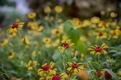 summer yellow (gwuphd) Tags: vivitar kiron 28mm f2 closefocus bokeh flower bee macro closeupfilter